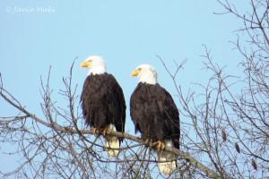 Eagle_Bald copy