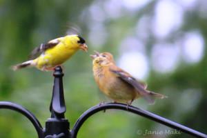 Goldfinch_American copy