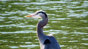 Heron_Great Blue copy