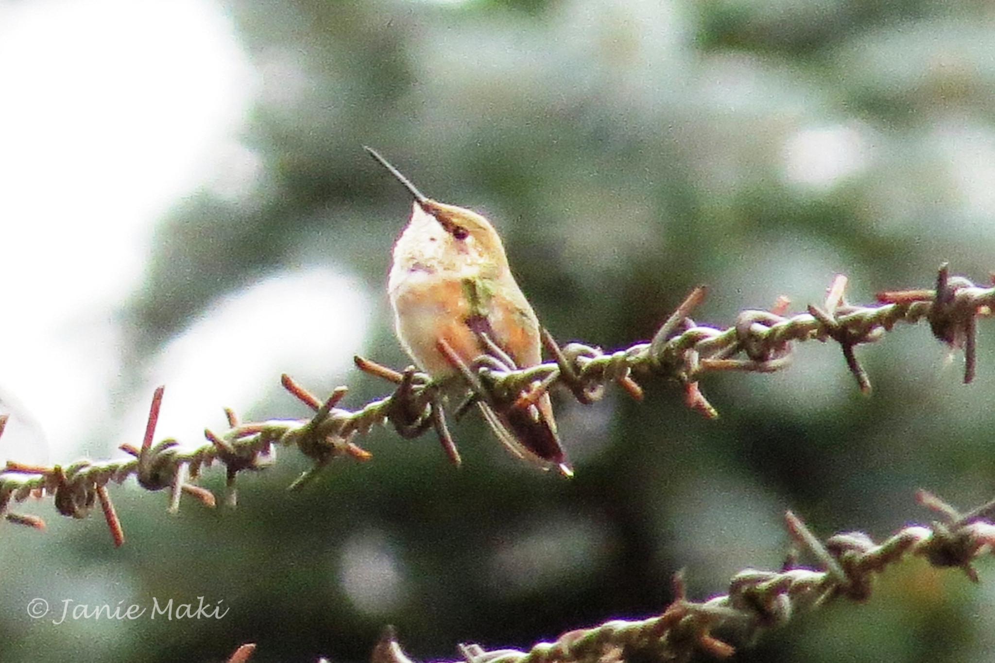 Rhummingbird