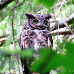 Owl_Great Horned copy
