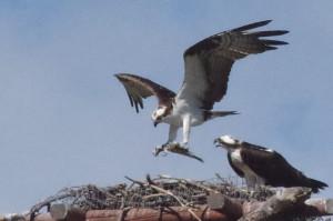 osprey landing on nest_yakes