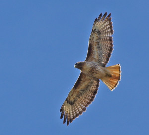 red tail hawk in flight_yakes