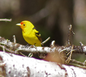 western tanager_yakes