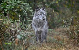 Wolf Haven 1